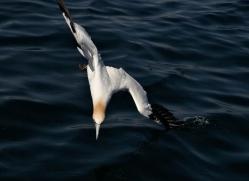 gannet-bass-rock-407-copyright-photographers-on-safari-com