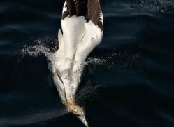 gannet-bass-rock-408-copyright-photographers-on-safari-com
