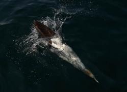 gannet-bass-rock-411-copyright-photographers-on-safari-com