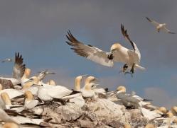 gannet-bass-rock-431-copyright-photographers-on-safari-com