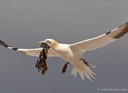 gannet-bass-rock-434-copyright-photographers-on-safari-com