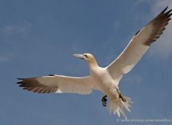gannet-bass-rock-437-copyright-photographers-on-safari-com