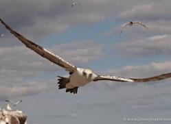 gannet-bass-rock-438-copyright-photographers-on-safari-com
