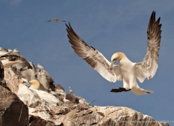 gannet-bass-rock-442-copyright-photographers-on-safari-com