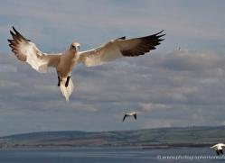 gannet-bass-rock-444-copyright-photographers-on-safari-com