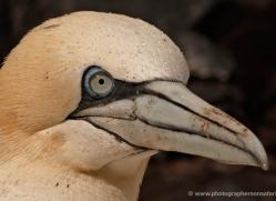 gannet-bass-rock-446-copyright-photographers-on-safari-com