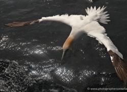 gannet-bass-rock-457-copyright-photographers-on-safari-com