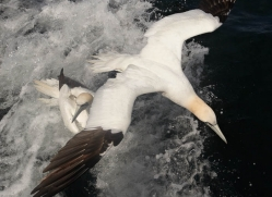 gannet-bass-rock-470-copyright-photographers-on-safari-com
