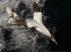 gannet-bass-rock-471-copyright-photographers-on-safari-com