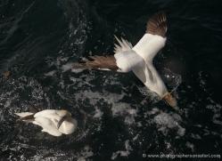 gannet-bass-rock-473-copyright-photographers-on-safari-com