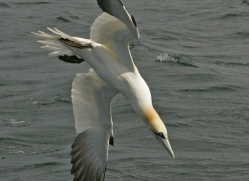 gannet-bass-rock-479-copyright-photographers-on-safari-com