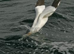 gannet-bass-rock-482-copyright-photographers-on-safari-com