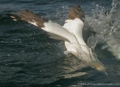 gannet-bass-rock-520-copyright-photographers-on-safari-com