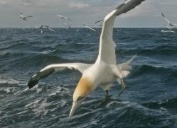 gannet-bass-rock-525-copyright-photographers-on-safari-com