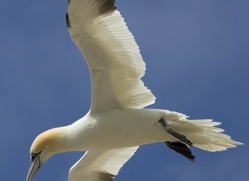 gannet-bass-rock-526-copyright-photographers-on-safari-com