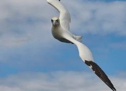gannet-bass-rock-copyright-photographers-on-safari-com-8182
