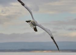 gannet-bass-rock-copyright-photographers-on-safari-com-8189