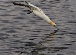 gannet-bass-rock-copyright-photographers-on-safari-com-8191
