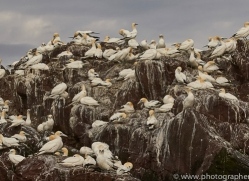 gannet-bass-rock-copyright-photographers-on-safari-com-8193