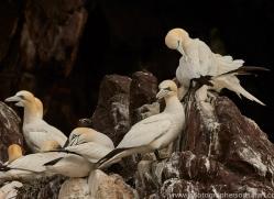 gannet-bass-rock-copyright-photographers-on-safari-com-8194
