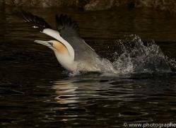gannet-bass-rock-copyright-photographers-on-safari-com-8195