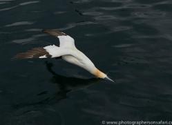 gannet-bass-rock-copyright-photographers-on-safari-com-8197