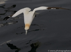 gannet-bass-rock-copyright-photographers-on-safari-com-8199