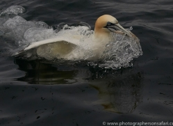 gannet-bass-rock-copyright-photographers-on-safari-com-8208