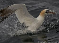 gannet-bass-rock-copyright-photographers-on-safari-com-8212