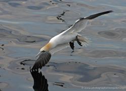 gannet-bass-rock-355-copyright-photographers-on-safari-com