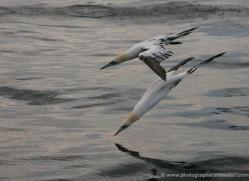 gannet-bass-rock-358-copyright-photographers-on-safari-com