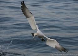 gannet-bass-rock-360-copyright-photographers-on-safari-com