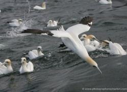 gannet-bass-rock-361-copyright-photographers-on-safari-com