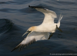 gannet-bass-rock-362-copyright-photographers-on-safari-com