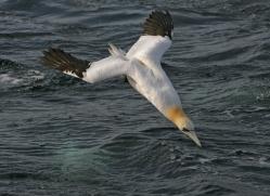 gannet-bass-rock-365-copyright-photographers-on-safari-com