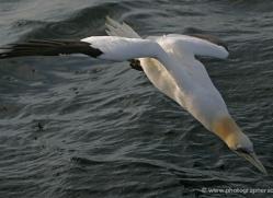 gannet-bass-rock-366-copyright-photographers-on-safari-com