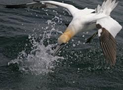 gannet-bass-rock-369-copyright-photographers-on-safari-com