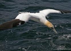 gannet-bass-rock-372-copyright-photographers-on-safari-com