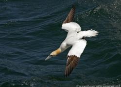 gannet-bass-rock-373-copyright-photographers-on-safari-com