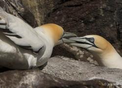 gannet-bass-rock-376-copyright-photographers-on-safari-com