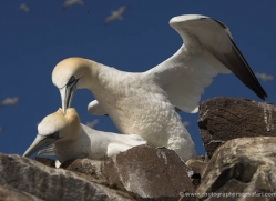 gannet-bass-rock-377-copyright-photographers-on-safari-com