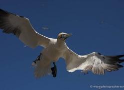 gannet-bass-rock-378-copyright-photographers-on-safari-com