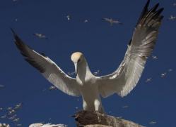 gannet-bass-rock-379-copyright-photographers-on-safari-com