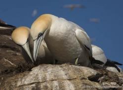 gannet-bass-rock-381-copyright-photographers-on-safari-com