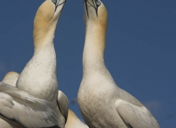 gannet-bass-rock-382-copyright-photographers-on-safari-com