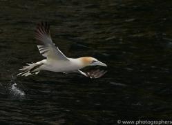 Gannet 2014-17copyright-photographers-on-safari-com