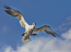 Gannet 2014-19copyright-photographers-on-safari-com