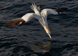 Gannet 2014-20copyright-photographers-on-safari-com
