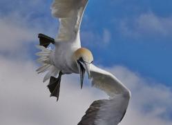 Gannet 2014-27copyright-photographers-on-safari-com