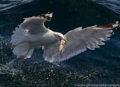 Gannet 2014-2copyright-photographers-on-safari-com
